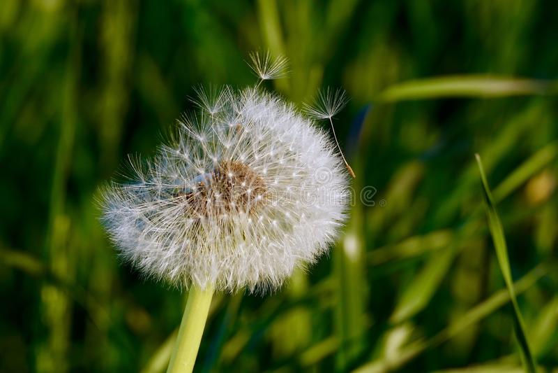 Dandelion seed pod royalty free stock photos