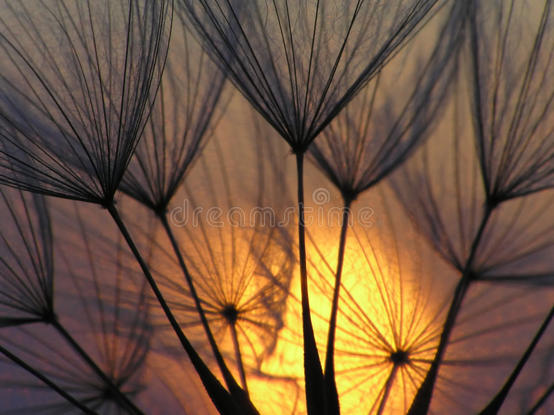 Dandelion seed with sun royalty free stock photography