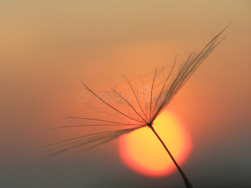 Dandelion seed with sun royalty free stock photos