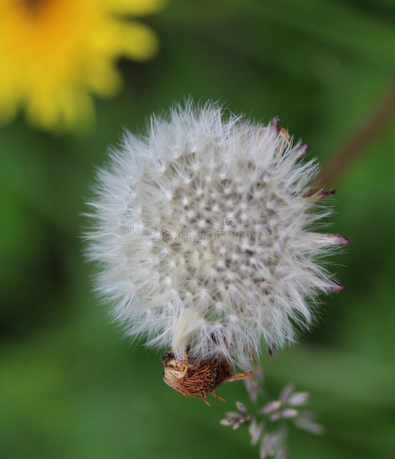 Dandelion seed. Dandelion Taraxacum officinale in springtime growing between grass in a meadow royalty free stock image