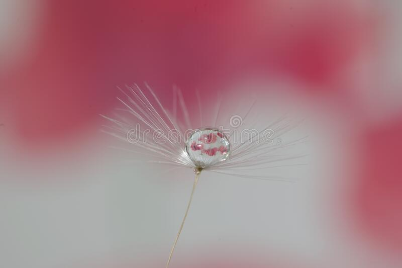 Dandelion seed with water droplets royalty free stock photography