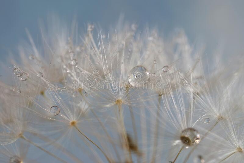 Dandelion seed with water droplets royalty free stock photo