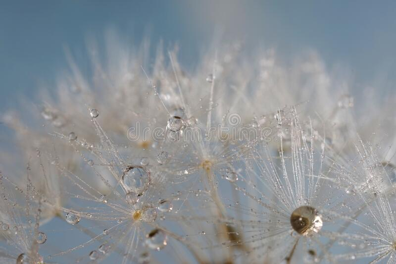 Dandelion seed with water droplets royalty free stock images