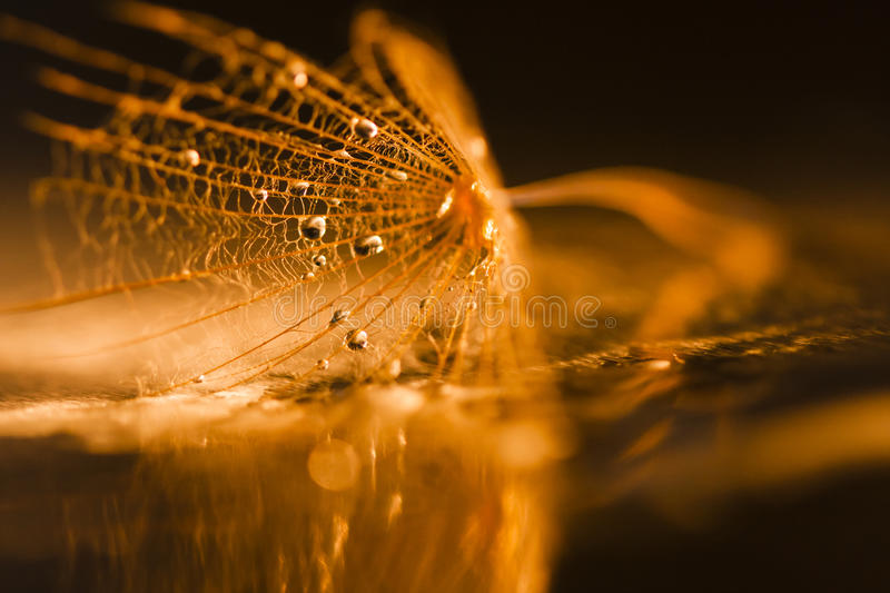 Dandelion seed with waterdrops and reflexions royalty free stock images
