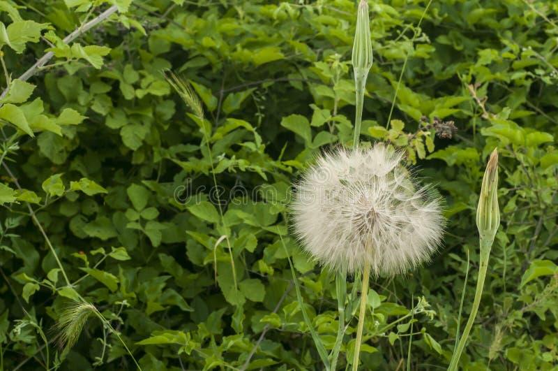 Dandelion seedhead closeup royalty free stock images