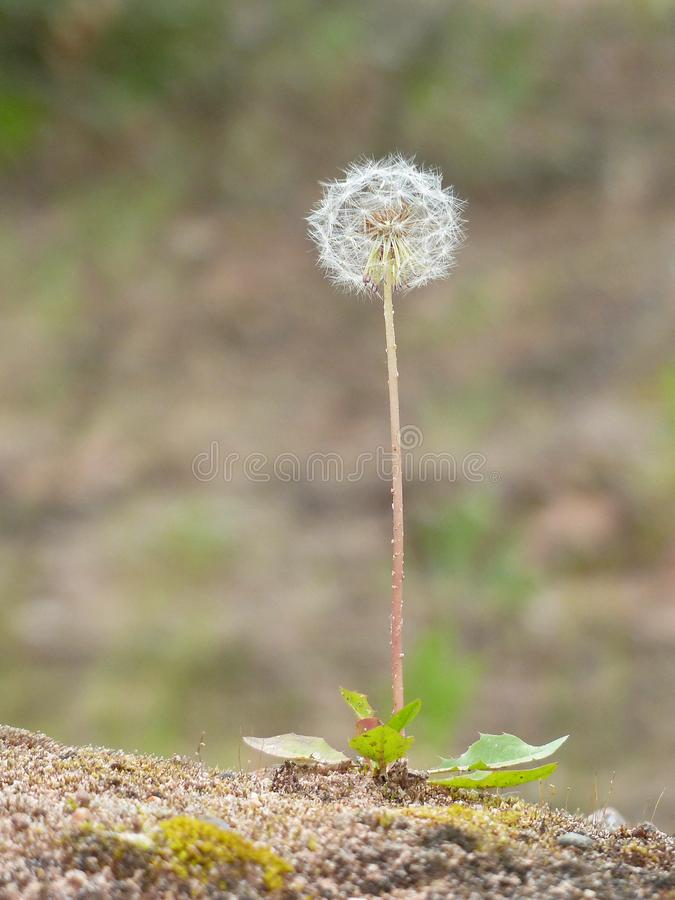 Dandelion With Seedhead In The Desert royalty free stock photos