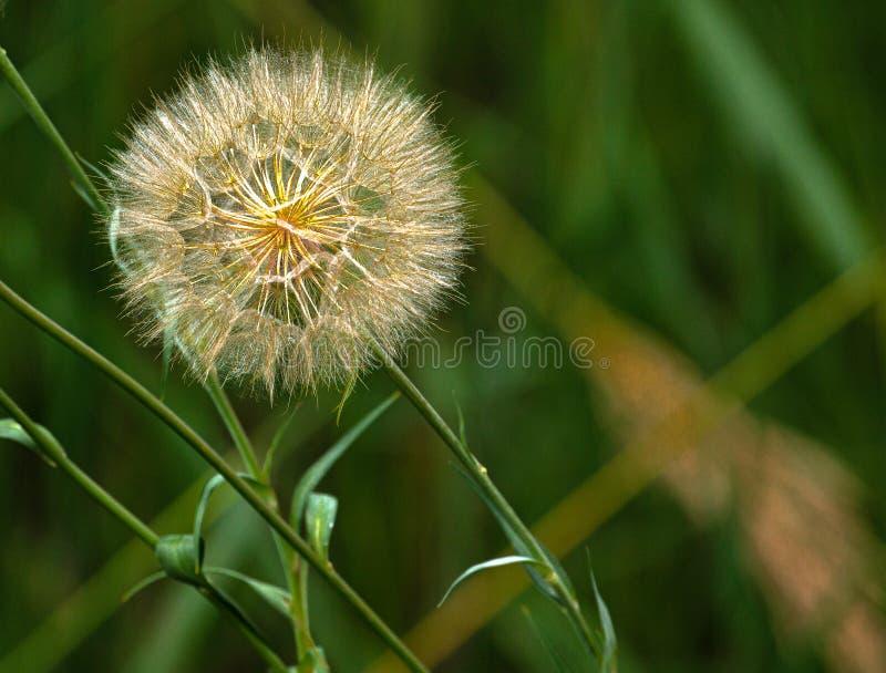 Dandelion Seedhead on Roadside, Portland, Colorado stock photo