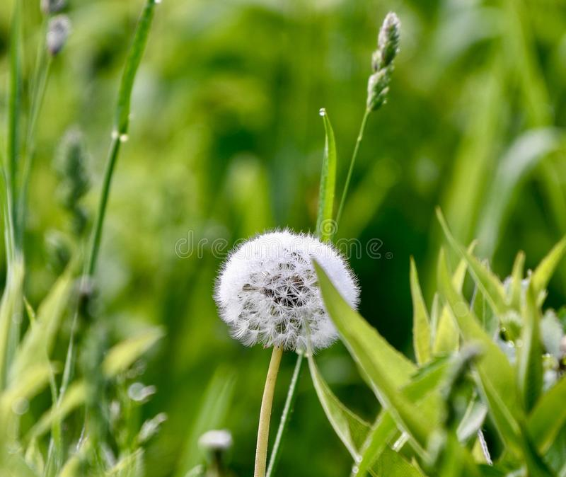 A Dandelion Seedhead stock images