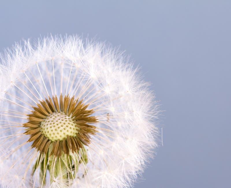 Dandelion Seeds stock image