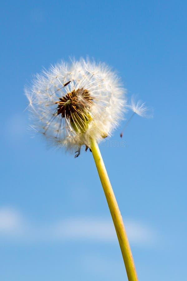 Free Dandelion Seeds Stock Photography - 117115932