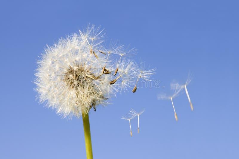 Dandelion seeds stock photos