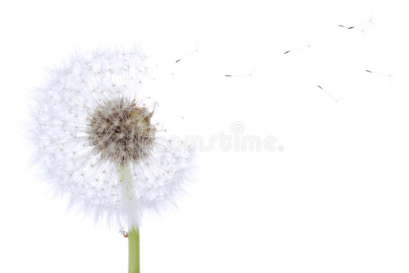Dandelion with seeds. Flying in the wind isolated on white stock photography