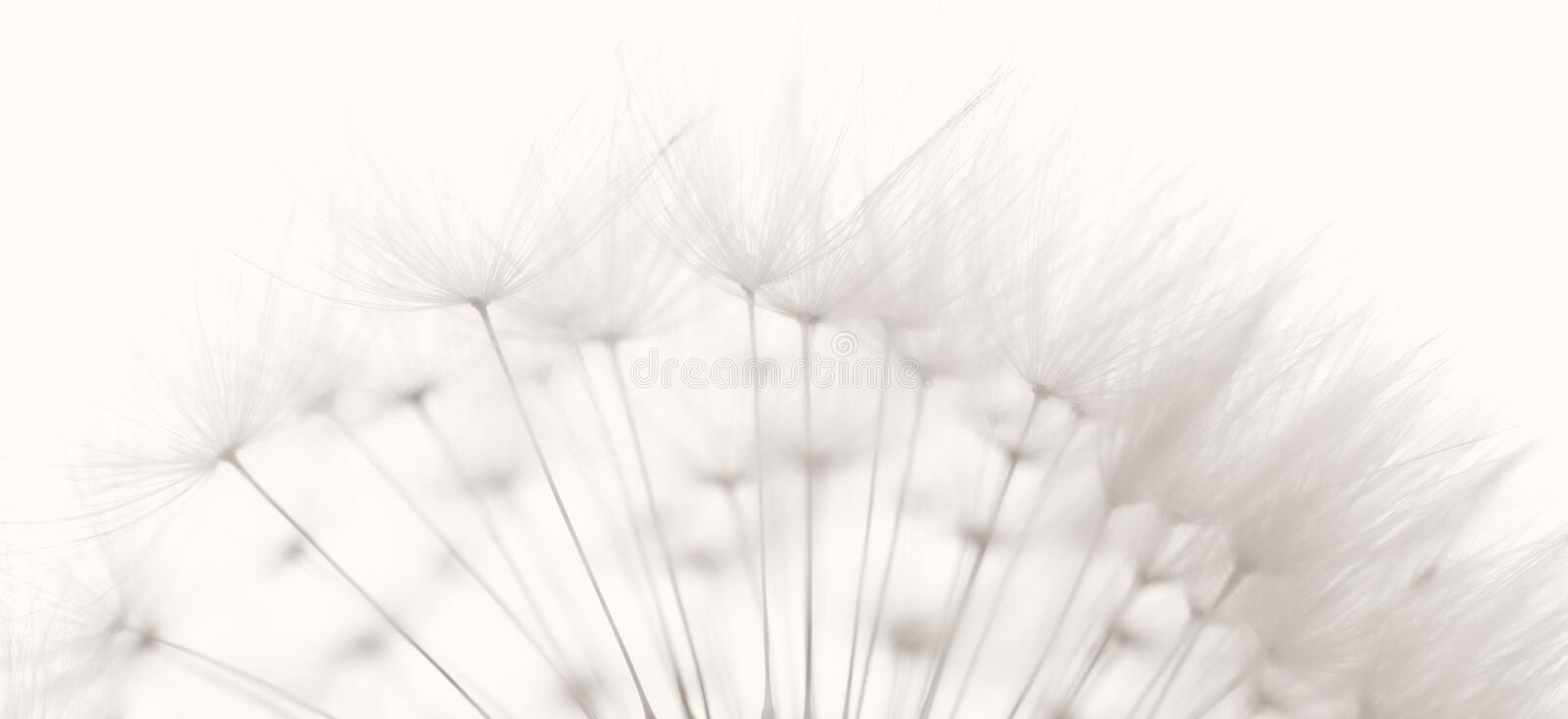 Dandelion seeds. Dandelion and seeds, colored black and white photo stock photos