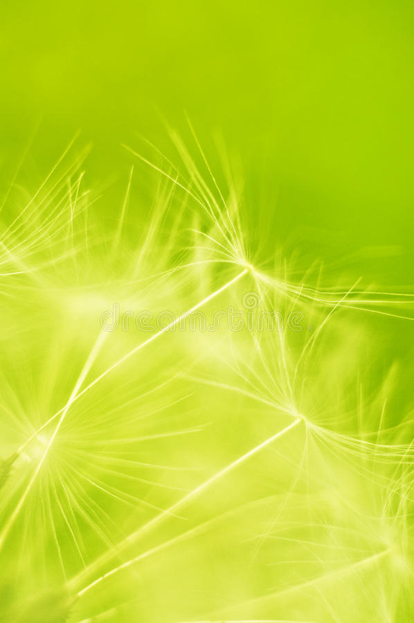 Dandelion seeds. Macro photo of Dandelion seeds blowing in the wind royalty free stock images