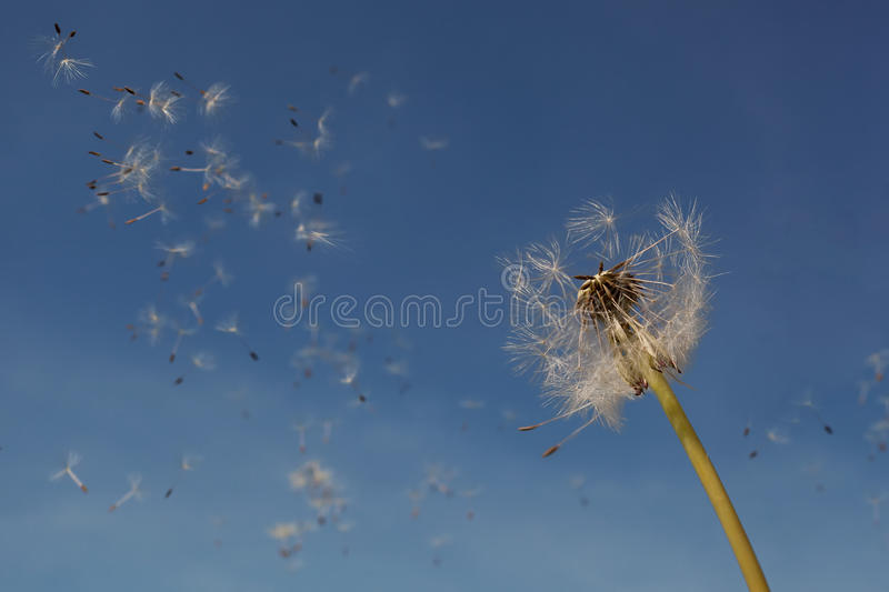 Dandelion seeds in the air. Dandelion seeds flying in the air. Light summer background stock image