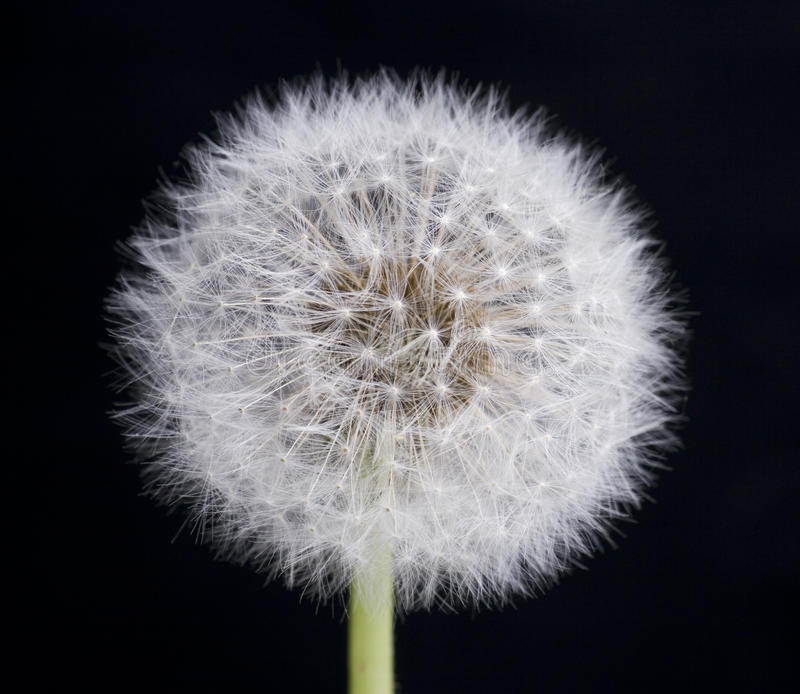 Dandelion With Seeds On Black Background Stock Photos