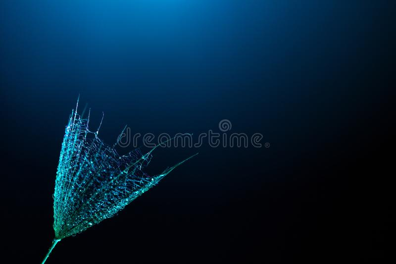 Dandelion seeds on a black background with blue backlight. Colorful minimalism. Macro. Drops of water on a fluffy flower close up. Dandelion seeds on a black royalty free stock photo