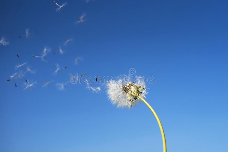 Dandelion with seeds blowing away in the wind across a clear blu royalty free stock image
