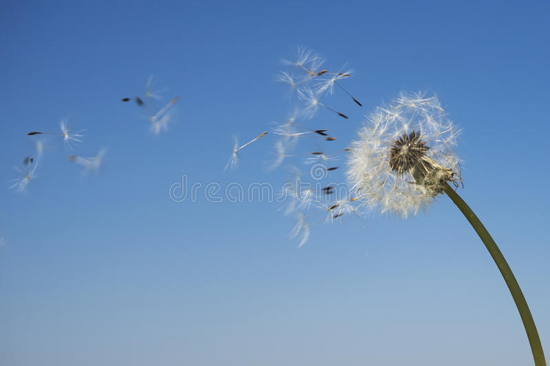 Dandelion with seeds blowing away in the wind. Across a clear blue sky with copy space stock images