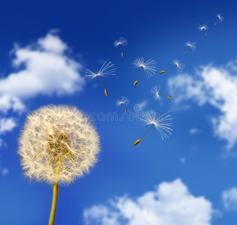 Dandelion seeds blowing in the wind royalty free stock image