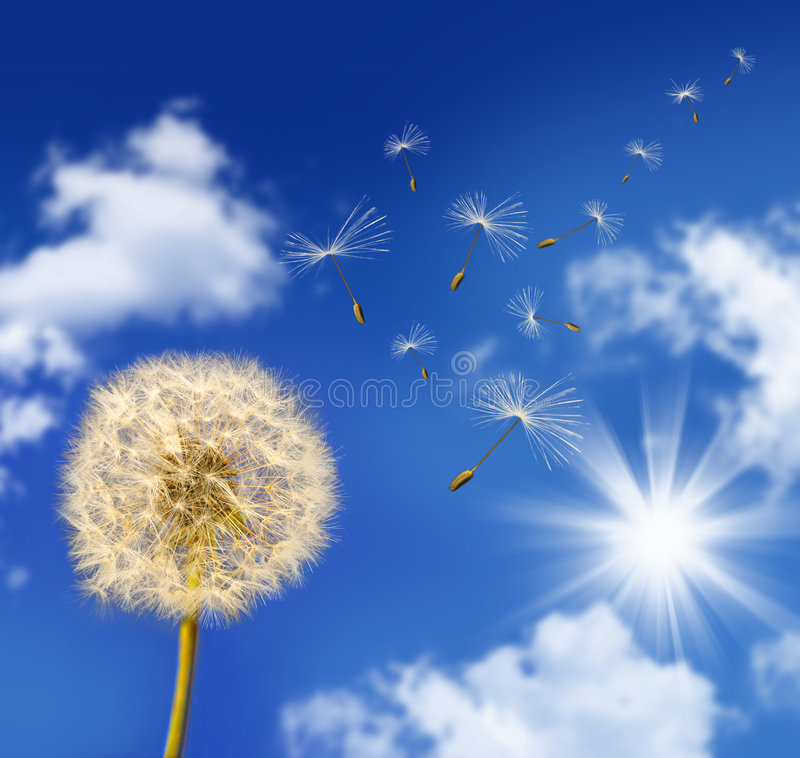Dandelion Seeds Blowing In The Wind Stock Image