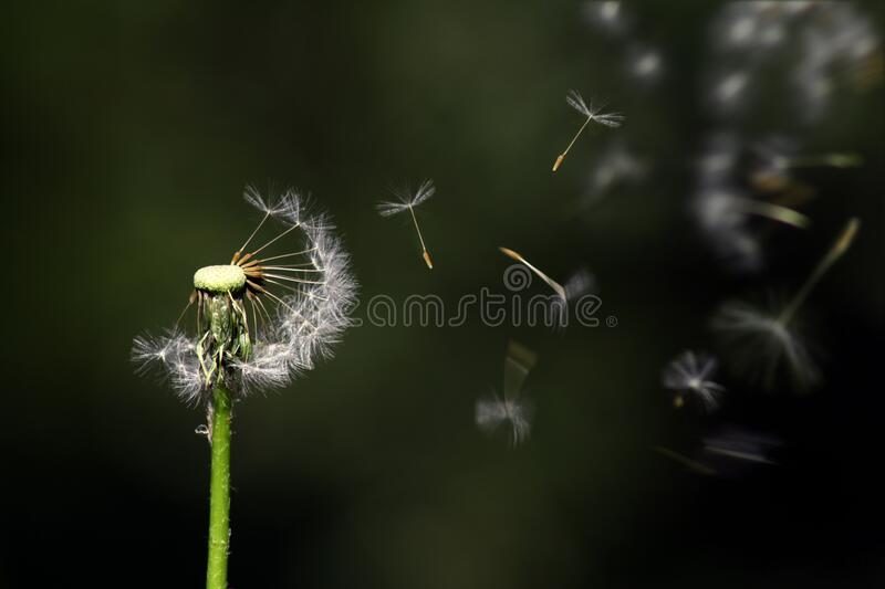 Dandelion seeds blowing in wind stock photography