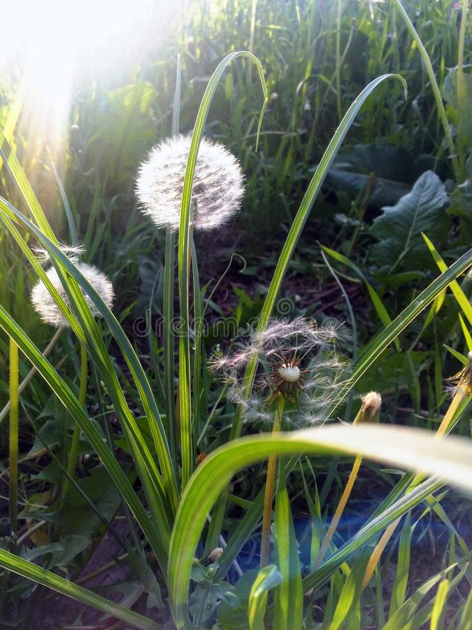 Dandelion seeds blowing in the wind across a summer field background, conceptual image meaning change, growth, movement royalty free stock images