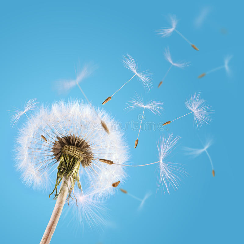 Dandelion seeds blown in the sky royalty free stock photography