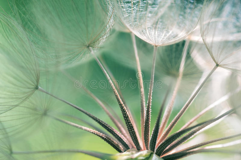Dandelion seeds closeup. Abstract macro of a dandelion. Selective focus royalty free stock photography