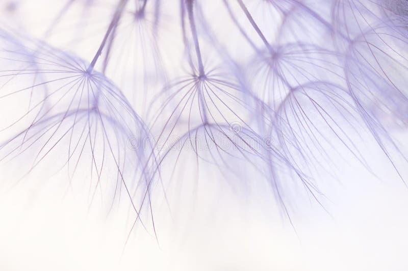 Dandelion seeds closeup in delicate shades.Selective focus stock photos
