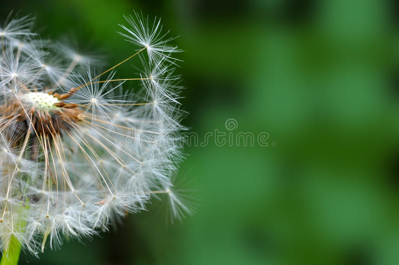 Dandelion and seeds closeup over nature royalty free stock photo