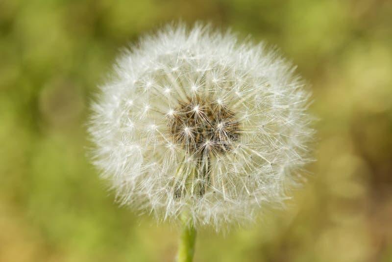 Dandelion seeds detail stock images