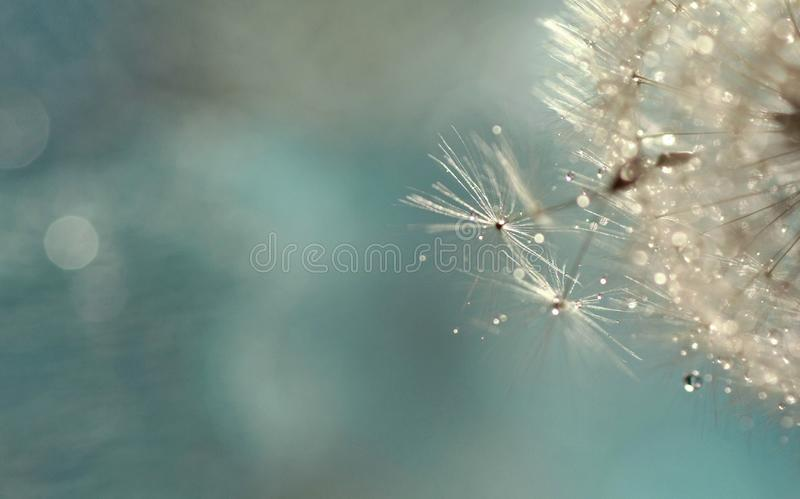 Dandelion seeds with drops of water. stock image