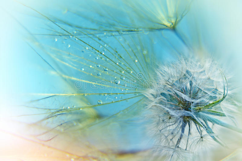 Dandelion seeds. Fluffy blowball (dandelion royalty free stock photography