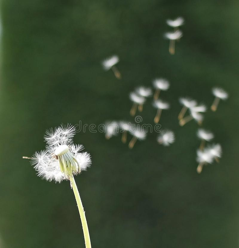 Dandelion seeds fly, dandelion fly, seed fly, seeds fly. Dandelion fly, dandelion seeds, seeds, seed royalty free stock photography