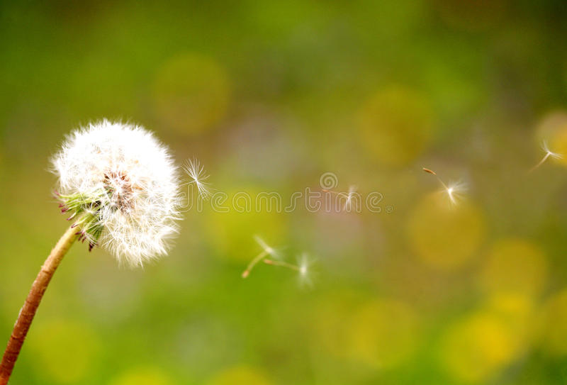 Dandelion seeds. That fly in the wind stock image