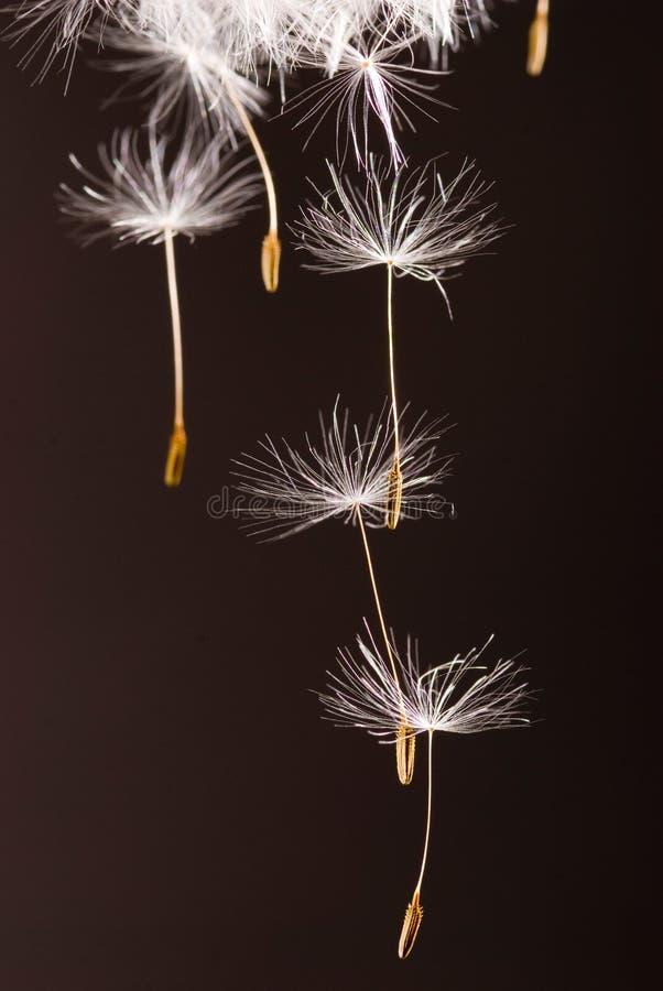 Dandelion Seeds  Flying Away Royalty Free Stock Photo
