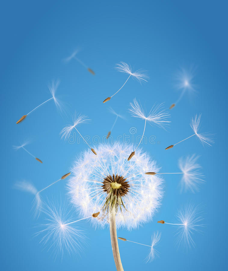 Dandelion seeds flying away with the wind stock images
