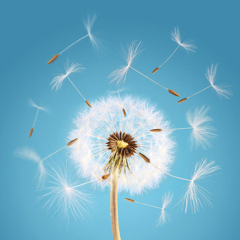 Dandelion seeds flying away with the wind royalty free stock images
