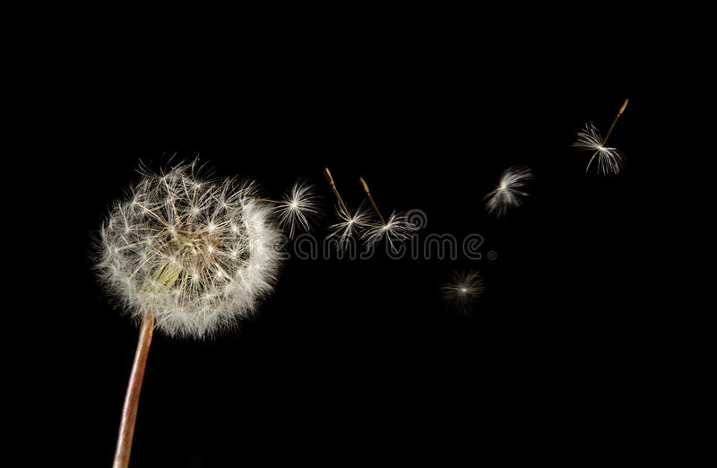 Dandelion seeds flying. Over black background. Closeup of seeds joined and separated by the stem royalty free stock photography