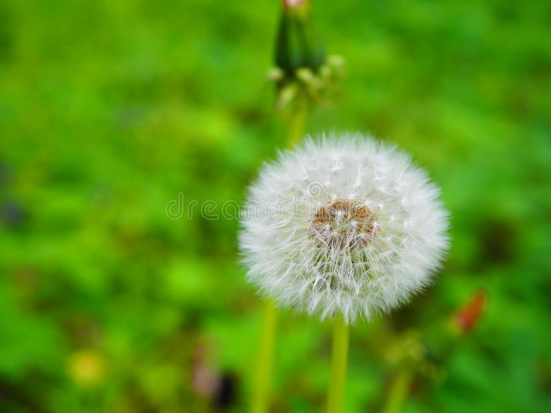 Dandelion with seeds in green grass royalty free stock image