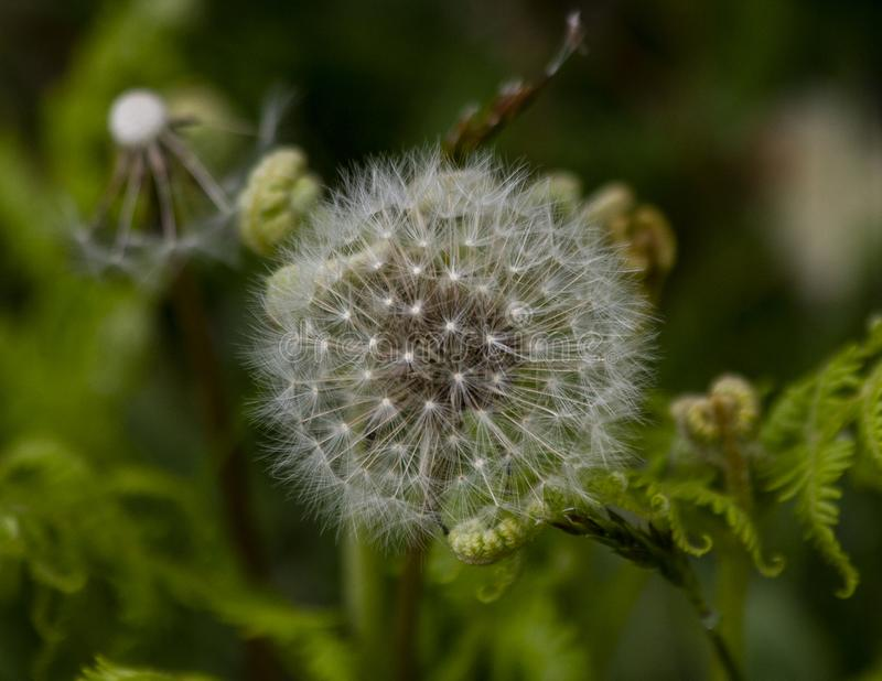Dandelion seeds on a hill royalty free stock images
