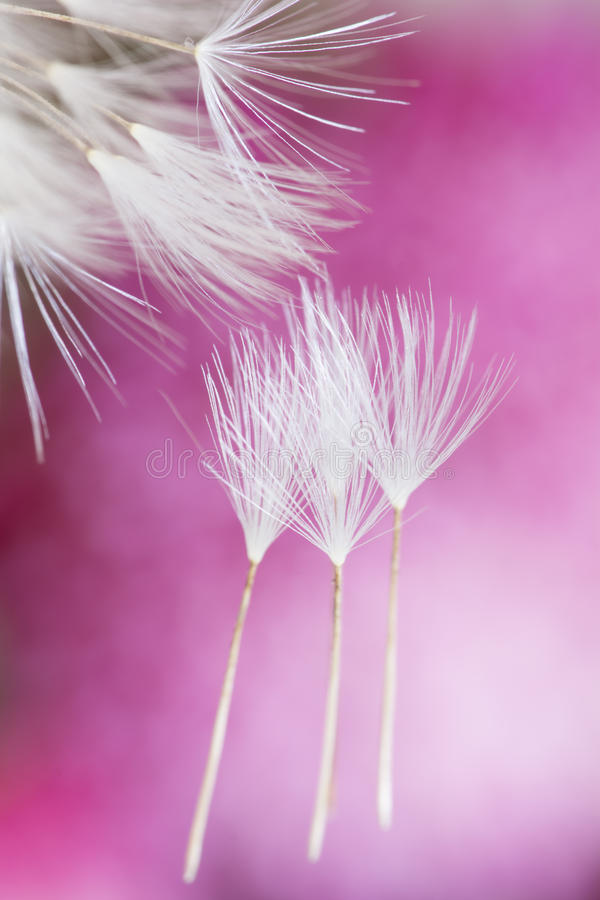 Download Dandelion seeds macro stock image. Image of color, innocence - 34446651