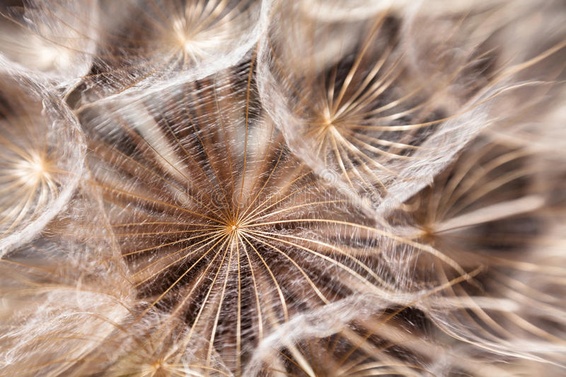 Dandelion seeds macro. Closeup fluffy royalty free stock image