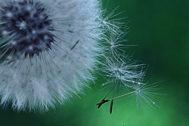 Dandelion seeds macro white flower stock photography