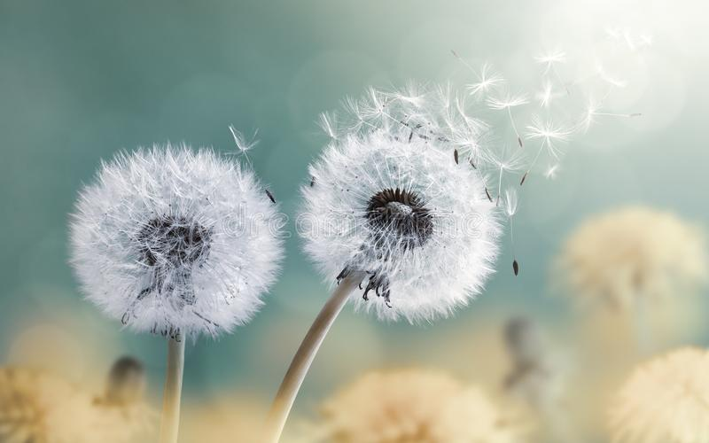 Dandelion In The Wind royalty free stock photos