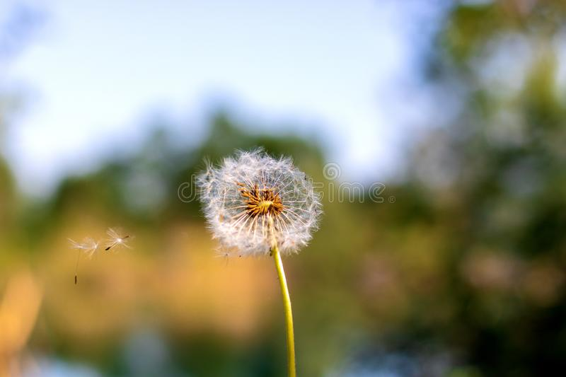 Dandelion seeds in the morning sunlight blowing away across royalty free stock photo