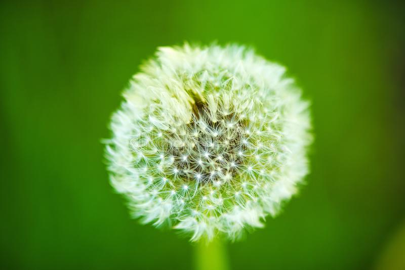 Dandelion seeds in the morning sunlight blowing away across a fresh green background stock images