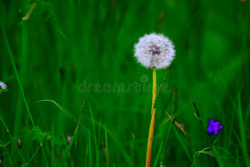 Dandelion royalty free stock photos