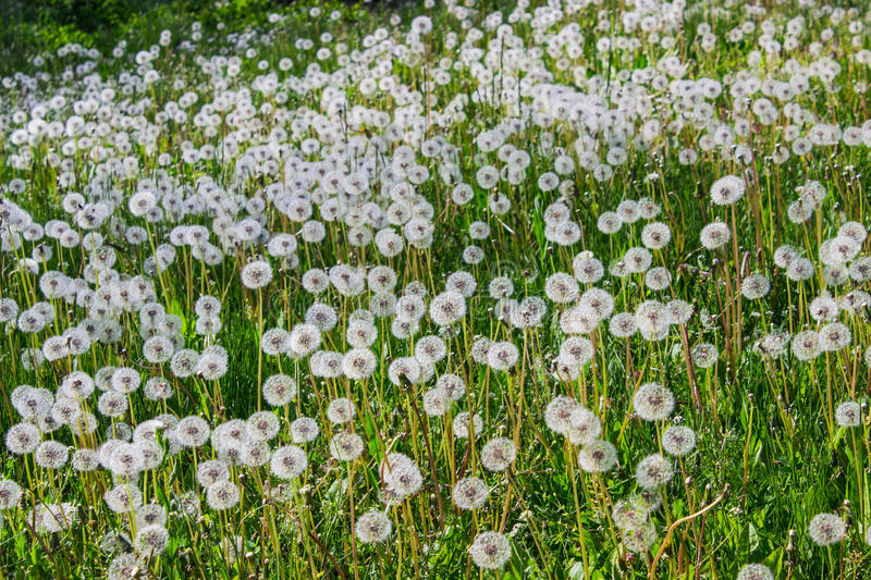 Dandelion seeds in the morning sunlight blowing away across a fresh green background stock photo
